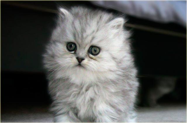 Фото персидского котенка
