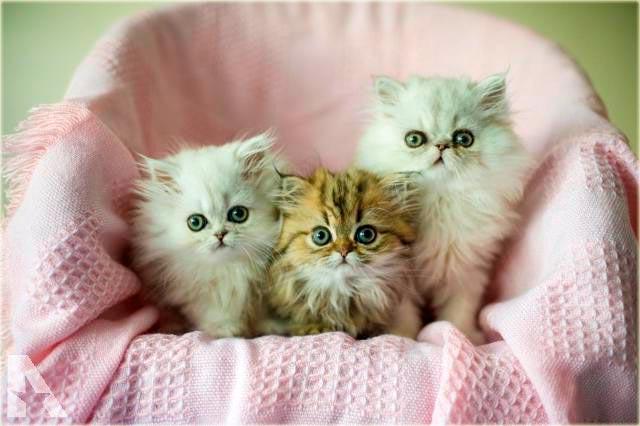 Персидская шиншилла котята фото
