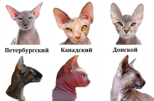 Сравнительное фото кошек сфинкс
