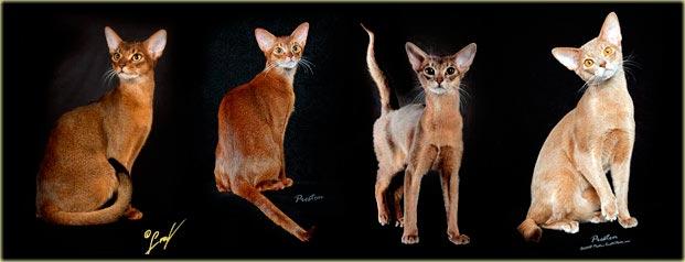 Абиссинская кошка типы окраса фото