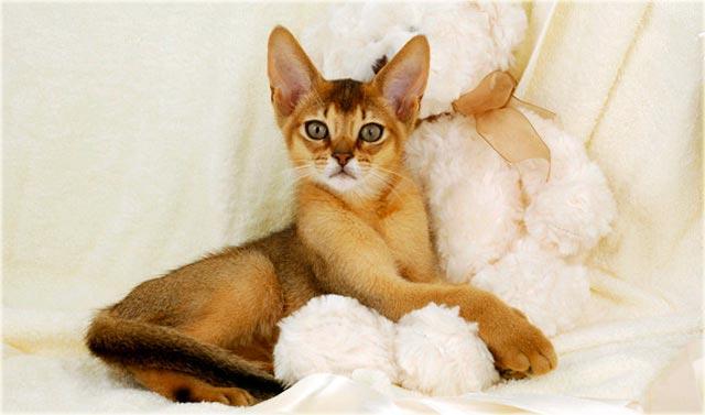 Абиссинская кошка отзывы