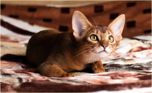 Абиссинская кошка уход и содержание
