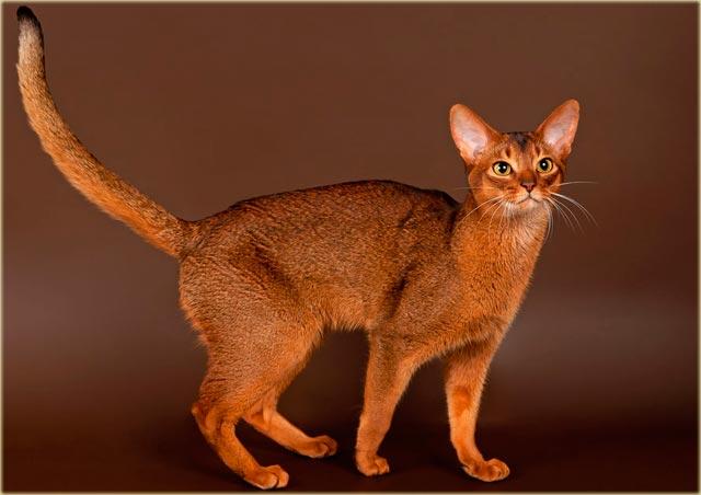Абиссинская кошка описание