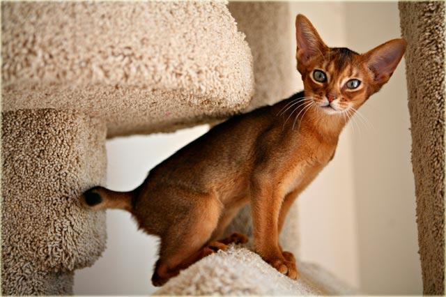 Абиссинская кошка характер