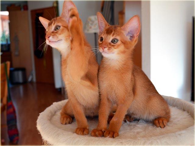 Абиссинская кошка купить