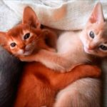 Абиссинские котята фото