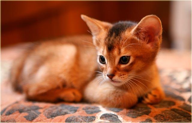 Абиссинская кошка котенок