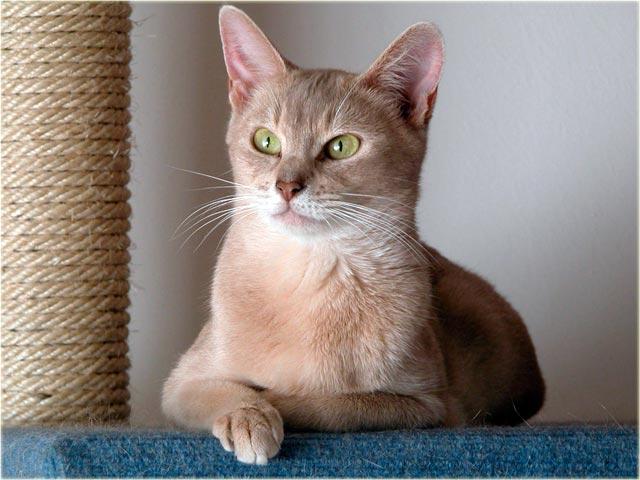 Абиссинская кошка окраса фавн