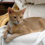 Абиссинская кошка фото породы