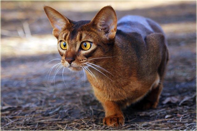 Абиссинская кошка порода