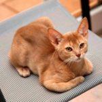 Абиссинская кошка фавн фото