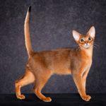 Абиссинская кошка классический окрас