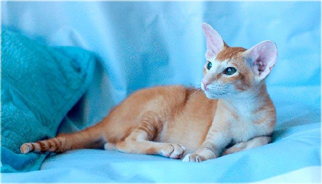 Питерский сфинкс кошка