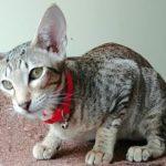 Кот петерболд фото