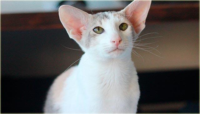 Петерболд кошка характер