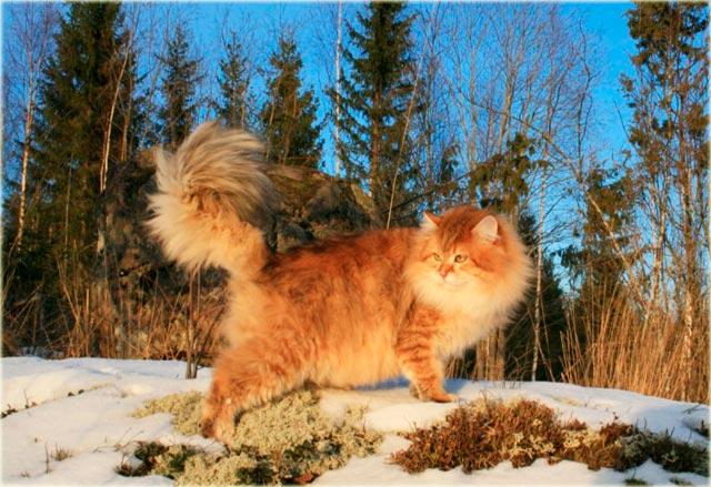 Сибирская кошка золотистого окраса