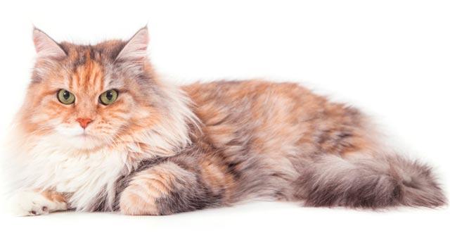 Здоровье сибирской кошки