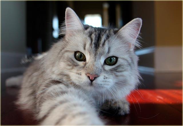 Сибирская кошка стандарты породы