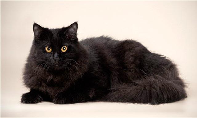 Сибирская кошка черная фото