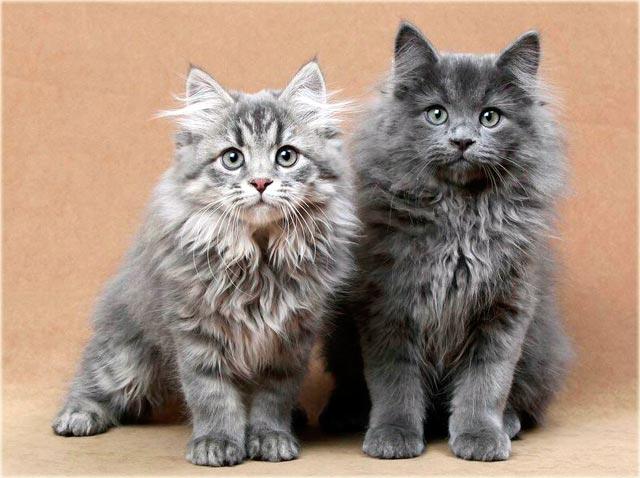 Сибирская голубая кошка
