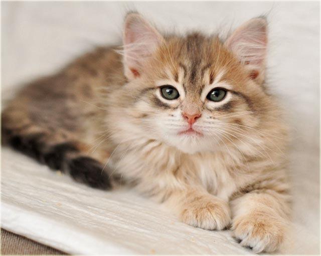 Сибирский котенок фото