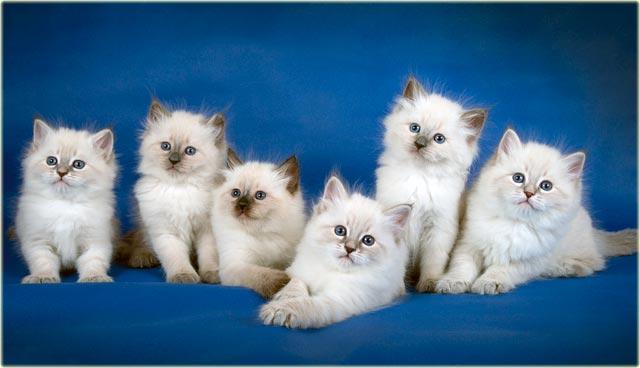 Сибирские котята окраса колорпойнт
