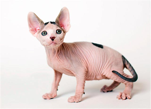 Канадский сфинкс купить котята