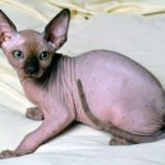 котенок канадский сфинкс фото