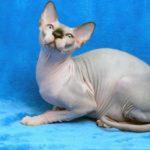 кошка канадский сфинкс фото