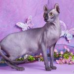 Порода кошки эльф фото