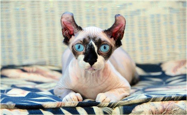 Кошка эльф характер