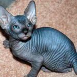 Донской сфинкс котенок