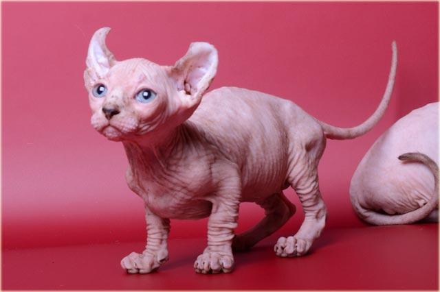 Кошка двельф