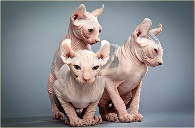 Порода кошки эльф