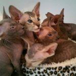 Котята петерболд фото