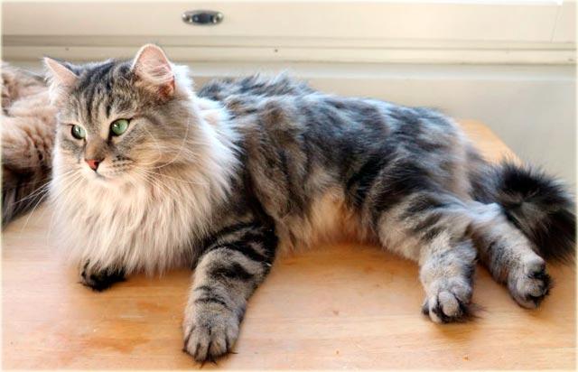 Сибирская серебристая кошка фото