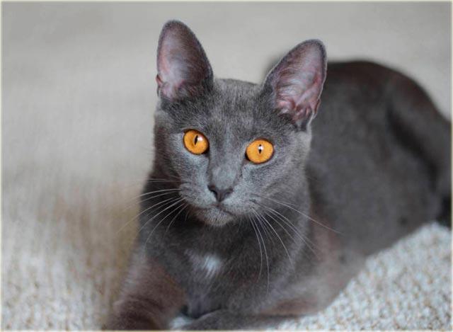 Бурманская кошка голубого окраса фото