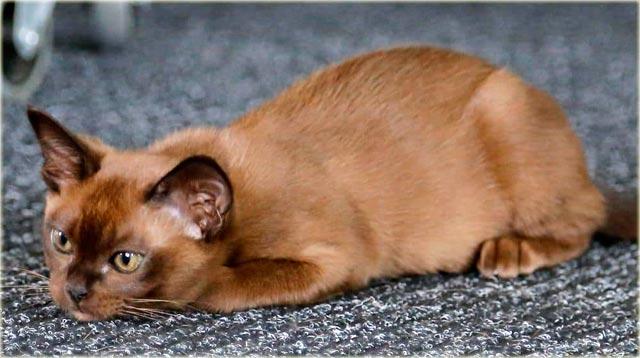 Бурманский кот фото