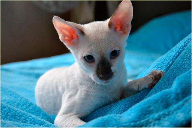 Корниш-рекс кошка характер