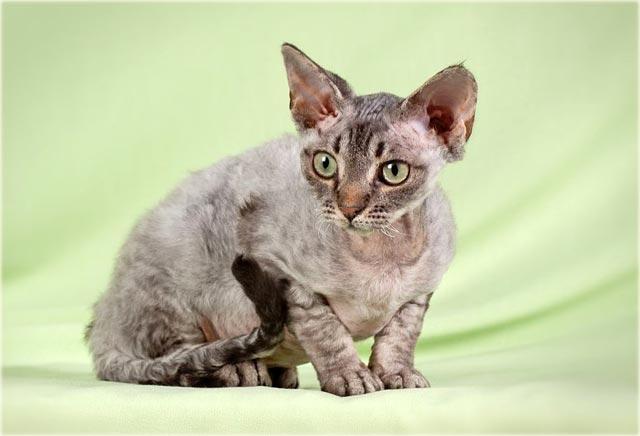 Девон-рекс порода кошки