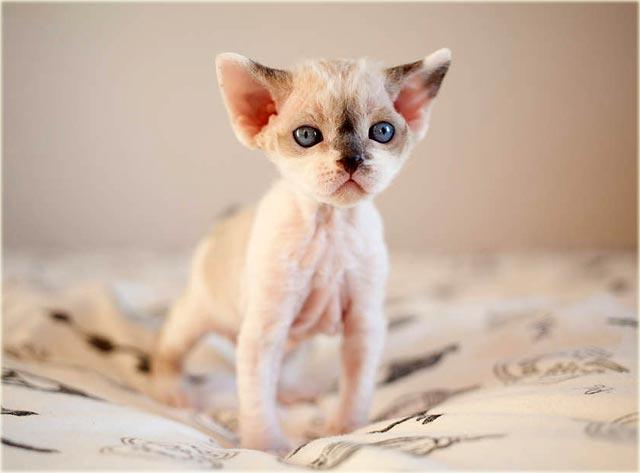 Девон-рекс котенок фото