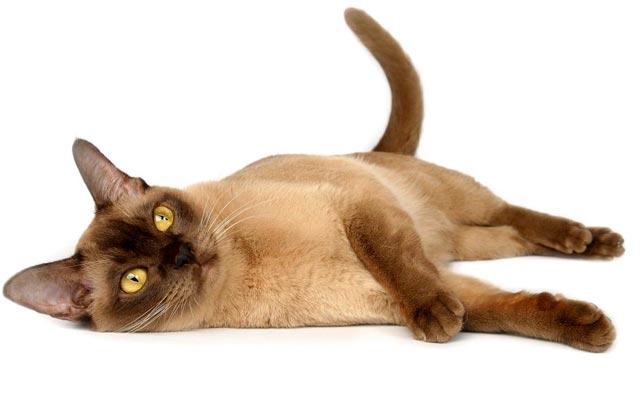 Бурманская кошка шоколадного окраса фото