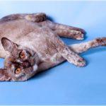 Бурманская кошка шоколадного черепахового окраса фото