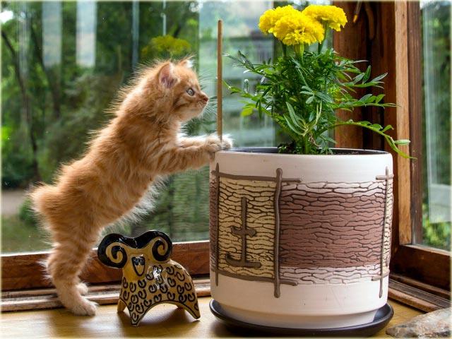 Котенок курильский бобтейл фото