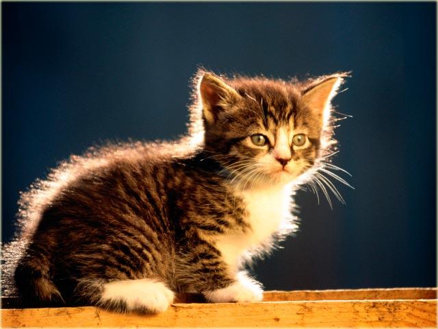 Котенок курильский бобтейл питомники