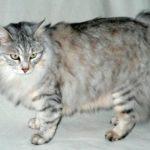 Курильский бобтейл голубой котенок фото