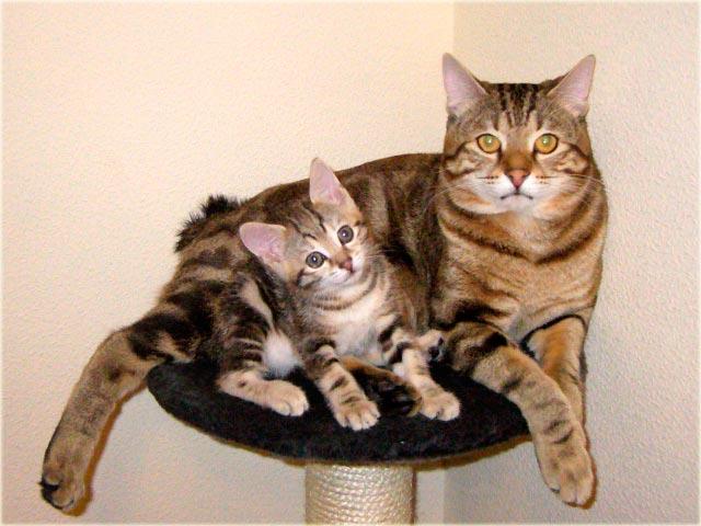 Курильский бобтейл кошка с котенком