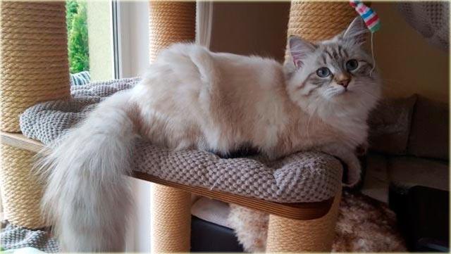 Невская маскарадная кошка характер