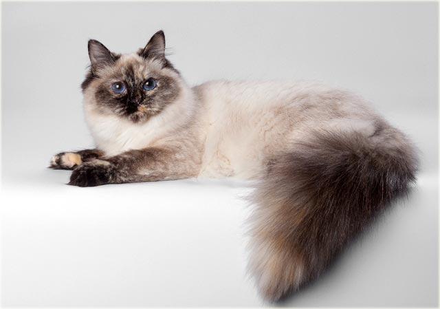 Невская маскарадная кошка черепахового окраса