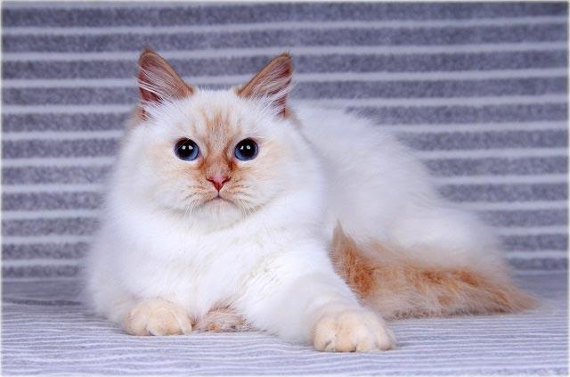 Невская маскарадная кошка окраса ред-пойнт
